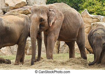 Asian elephant with baby in Prague zoo closeup