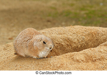 prairie dog near its burrow, close-up on a background of...