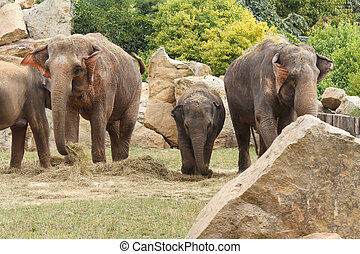 Family of Indian elephants at the Prague Zoo in the natural...