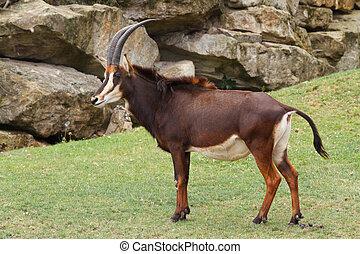 Rare sable antelope (Hippotragus niger), South Africa