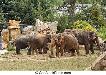 Family of Asian elephants while eating in the zoo. summer -...