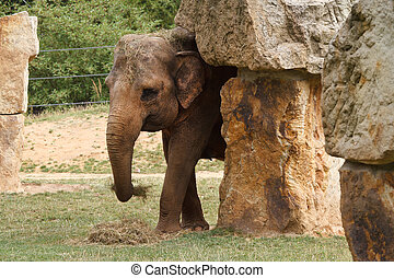The Indian female elephant is eating hay at the zoo....
