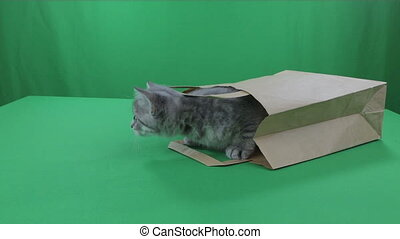 Beautiful little kittens Scottish Fold in paper bagon Green...