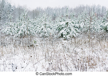 snow-covered fir tree in winter, and fields, Christmas...