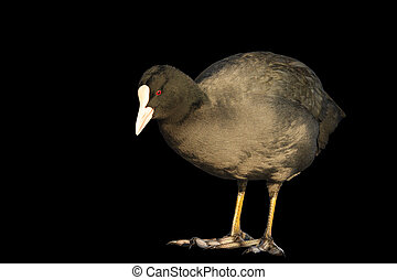 coot looking at his feet isolated on black,wintering birds,...