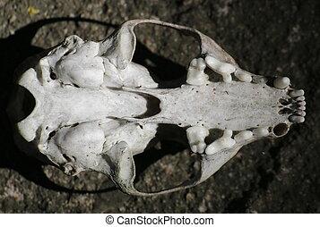 Skull of a European pine marten (Martes martes) from below.