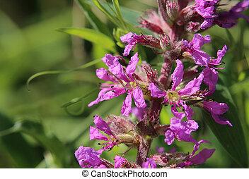 Lythrum Salicaria - Purple loosestrife (Lythrum salicaria)...