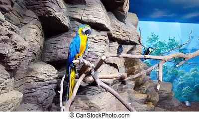 Blue-and-yellow macaw sitting on branch - Blue-and-yellow...