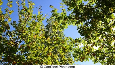 oak branches on the background of sky in early autumn - oak...