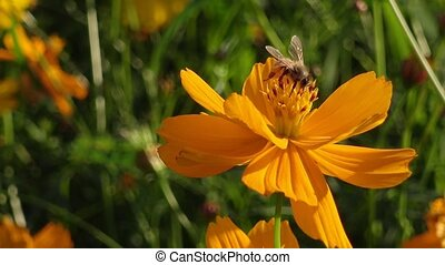 Flying worker bee collecting nectar. - Flying worker bee...