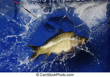 Sport fishing carp. - The fish, which is hidden in the blue...