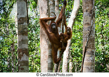 Female of the orangutan with a cub. - The female of the...