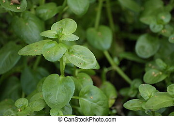 beccabunga,  Veronica, folhas,  speedwell, europeu