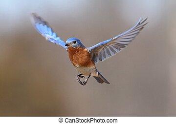 Eastern Bluebird (Sialia sialis) In Flight - Male Eastern...