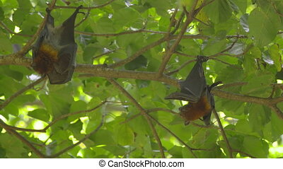 Flying foxes hangs on a tree branch and washes - Three...