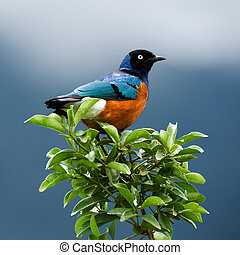 Bird on a branch - SUPERB STARLINGThe orange-blue bird sits...