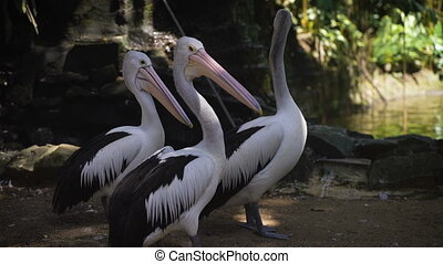 The park of birds To Bali. A pond with Pelicans. Three...