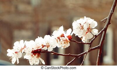 Beautiful tender apple tree flowers, blooming spring nature...