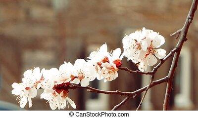 Beautiful tender apple tree flowers, blooming spring nature...