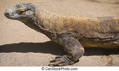 Bali park of birds and reptiles. Monitor lizard of the...