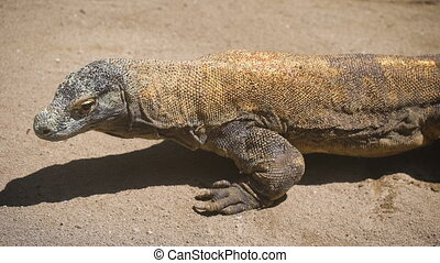 Large tropical iguana slowly creeps through the sand...