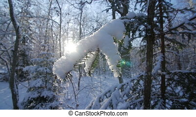 Fir tree covered with snow under morning sunbeams. Wide...