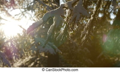 Fir tree covered with snow under morning sunbeams