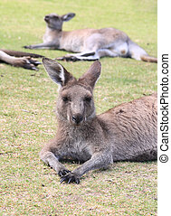 Kangaroos take a rest
