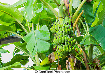 green banana on banana tree. horizontal photo. - green...