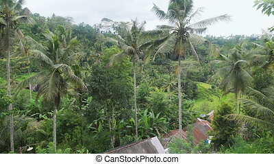Island of Bali rice terraces. Rice terraces of Tegallalang...