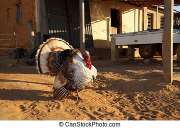 Turkey at courtship