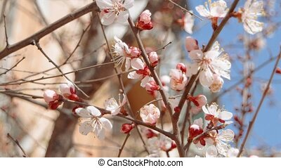 Apple tree branches blossoming in early Spring with part of...