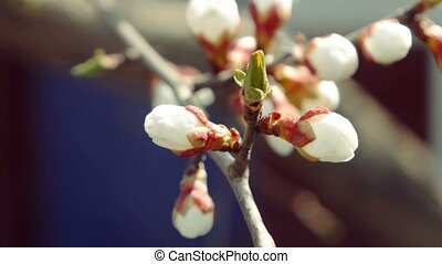 Beautiful tender cheery tree flowers half-open blooming in...