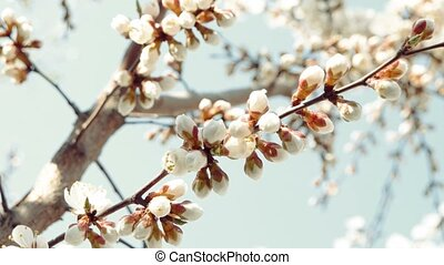 Open white apple flower blossom and half-closed buds on...