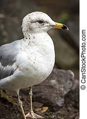 Ring-billed Gull (Larus delawarensis) on rocks at the side...