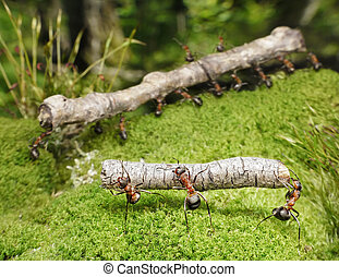 team of ants carries logs in forest