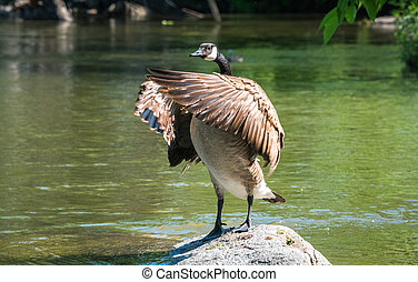 Canada Goose stands on rock, flaps his wings in a springtime...
