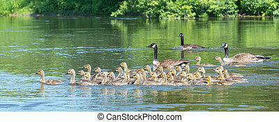 Canada geese are natural babysitting parents. The birds...