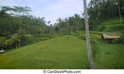 Exciting view of green endless rice fields and tropical...
