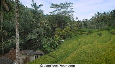 The review of rice terraces on the island of Bali. Juicy green rice fields. At the sight of smart rice terraces the spirit bewitches, and only so rice grows. It is unreal the beautiful place.