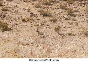 sheep, ovelhas, deserto,  bighorn