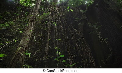 The review of suspended lianas in the jungle of the island...
