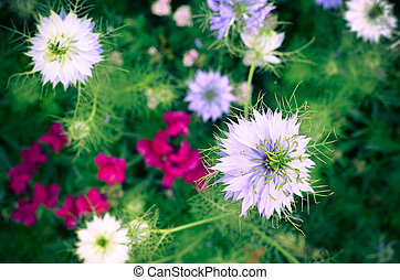 Nigella sativa - nature blue and white flowers, differential...