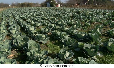 five shots of the cabbage production