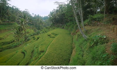On the slope of the cascade, field planted with rice and...