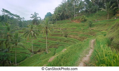 The review of rice terraces on the island of Bali. It is possible to wander among rice terraces several hours in a row and to admire inspiring beauty. Improbable, saturated palette of green color.
