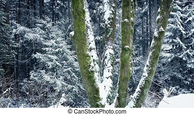 Passing Mossy Forest Trees In Snowfall - Dolly shot moving...