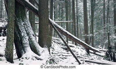 Passing Fallen Logs In Snowy Winter Forest - Large fallen...
