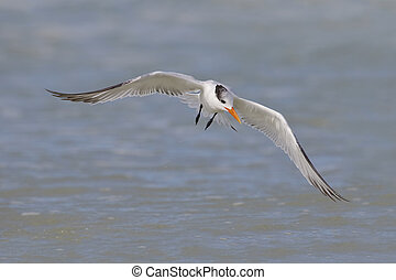 Royal Tern in flight - St. Petersburg, Florida