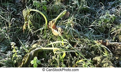Frozen zucchini plant leaves in garden after first autumn...
